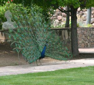 ranch peacock